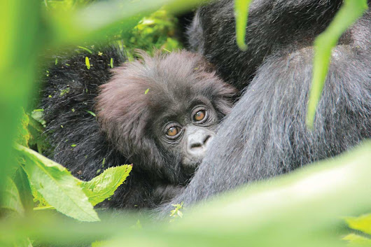 How to see mountain gorillas: Mind-blowing Bucket-list Trip | Wild Discoveries Uganda Safaris