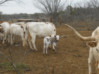 Another View of New Pure Longhorn Calf Mateo