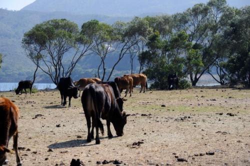 大嶼山牛牛冒險記