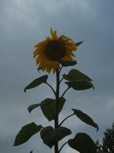 DSCN7002 - Sunflower, June 2013