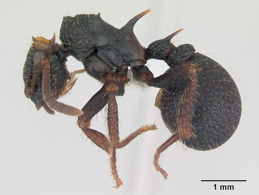 "Armadillo Ants ""Gots Cousins"", Drepanicine Mantidflies Get a Range Extension, & Umenocoleidae Troll Paleontologists Yet Again: a Few Minor Addenda"