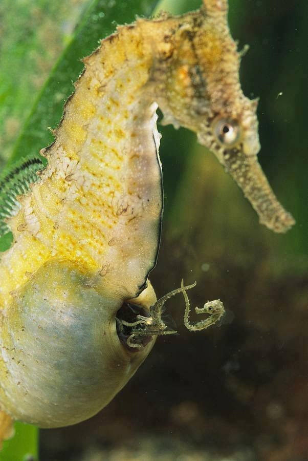 I love how seahorse well in the one that keeps the babies until they are born. I've seen them be born and it's super cute since they are so tiny!