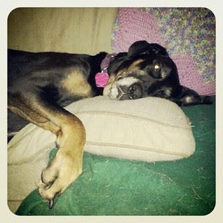 #rainyday #lazy #dogs #rescue #petstagram #instadog #adoptdontshop #rain #dogsofinstagram #dogstagram #dobiemix #dobermanmix