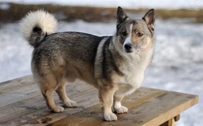Download wallpapers Swedish Vallhund, dogs, winter, snow, small dog, 4k for desktop free. Pictures for desktop free