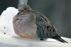 mourning dove 075