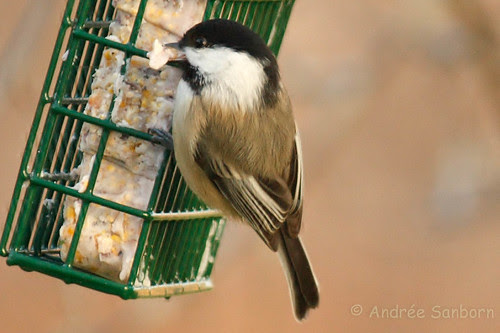 Black-capped Chickadee  4