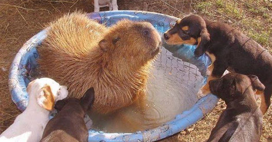 Capybara is brought to a rescue sanctuary, falls in love with every animal on the farm