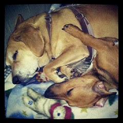 Two peas in a pod...Sophie and #foster brother Boo #adoptdontshop #rescue #dogs