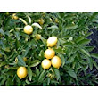Buy Chinese Orange Live Plant, Calamondin Orange, छोटा संतरा, Bonsai Plant Variety Online at Low Prices in India - Amazon.in