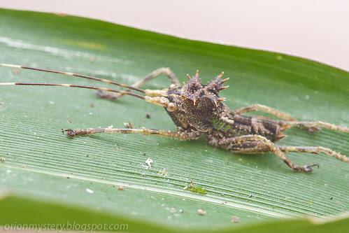 dragon headed katydid Lesina sp. IMG_8782 copy