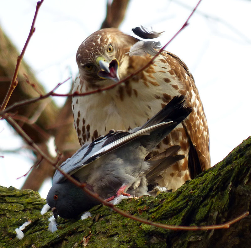 Juvenile red tail with pigeon