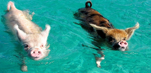 Swimming with pigs in Exuma, Bahamas| Guess This City