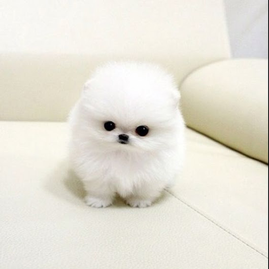 Image: Teacup maltese, Marshmallows and Maltese on Pinterest