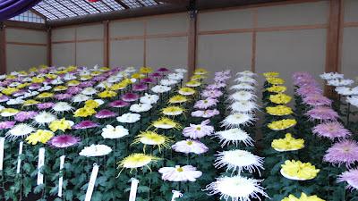 Chrysanthemums in Shinjuku,Tokyo, Japan