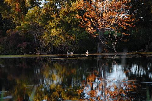 Fall Swanes