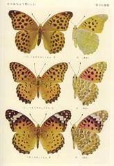 papillon 36