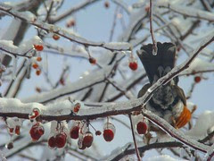 Icy robin butt
