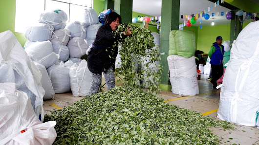 Bolivia's Morales boosts legal coca production