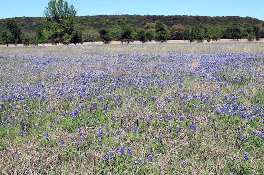 Texas Bluebonnet Fields - Lakes Trail Region - Traveling Gishi