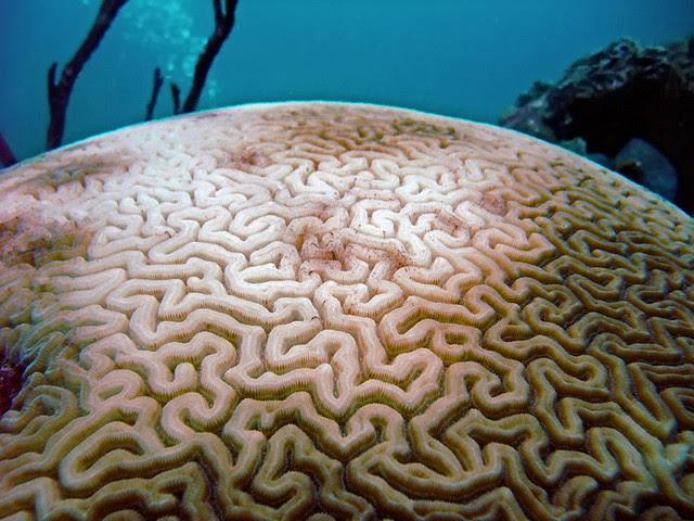 Bleaching grooved brain