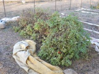 Spring Garden 2012 Tomato Plants in December