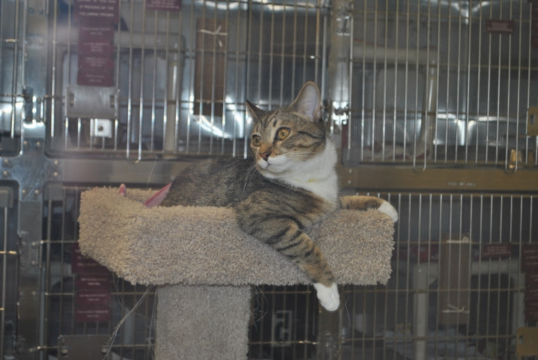 young tabby with white male kitty on a cat tree trying to get someone to play with him