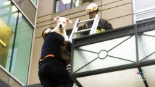 CTV Vancouver: Terrier rescued from highrise fall