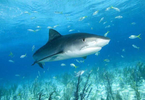 [Curiosidades] ¿Sabías que los tiburones usan mapas mentales para nadar?