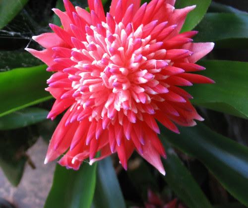 bromiliad flower 1