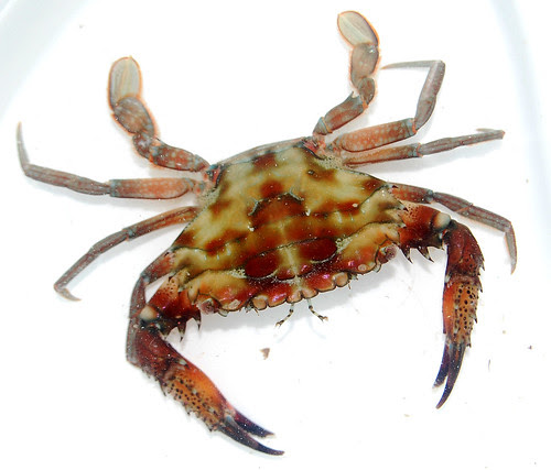 swimming crab2