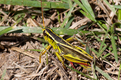 Two-Striped Grasshopper (Melanoplus bivittatus)-9.jpg