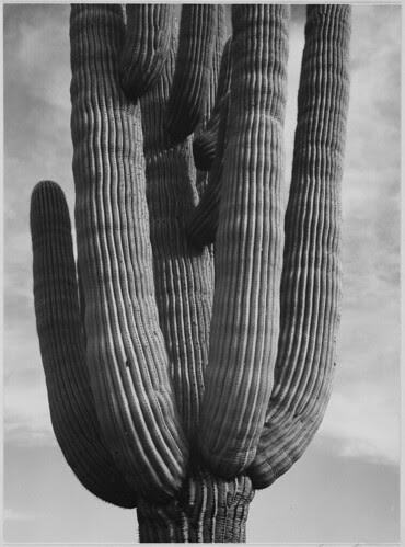 "Detail of cactus ""Saguaros, Saguro National Monument,"" Arizona. (Vertical Orientation)"