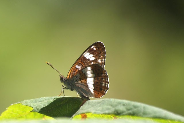 DSC_6697 White Admiral Butterfly