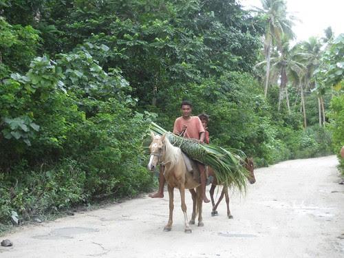 transporting pandanus Niuatoputapu, Tonga