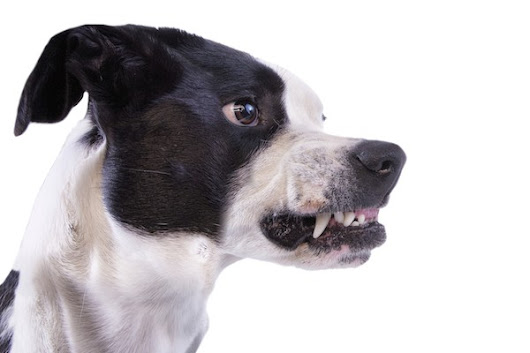 4 Things You Should Know About Dog Growling