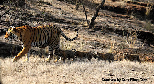 T-19 With Cubs- A Royal Walk in Ranthambore Tiger Reserve