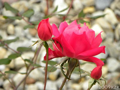 DSCN2632 NOV roses