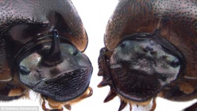 Image result for three eyed beetle