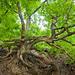 Roots and branches of an oak - Knorreichenstieg - mehrstämmige Eiche mit freigelegten Wurzeln