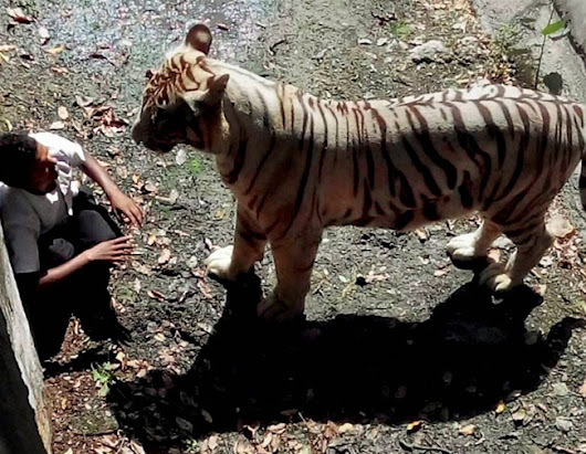 White Tiger fatally mauls student at the Delhi Zoo