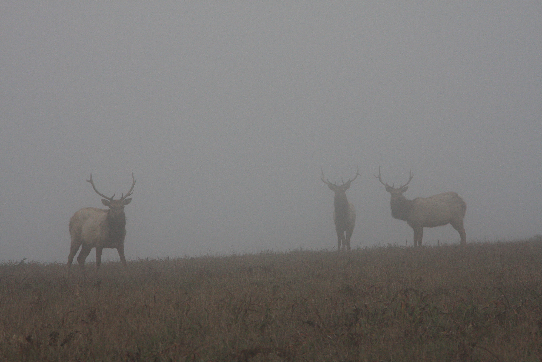http://upload.wikimedia.org/wikipedia/commons/8/8c/Tule_Elks_in_Fog.jpg