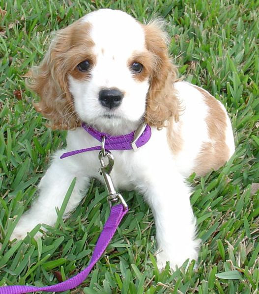 File:Cocker Spaniel Puppy.jpg