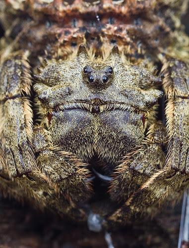 IMG_9233 copy Caerostris sumatrana spider