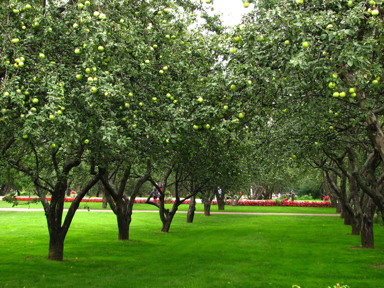 Apple_orchards_in_Kolomenskoye_21