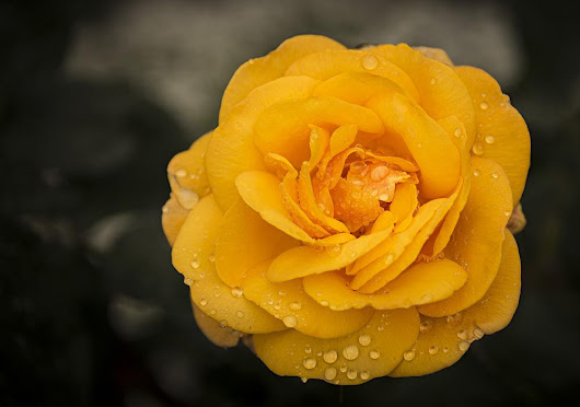 Yellow Rose by Suzanne Kreitzberg