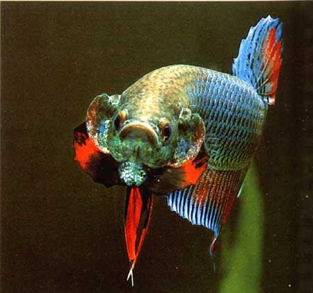 81 Koleksi Gambar Ikan Cupang Jantan Terbaru