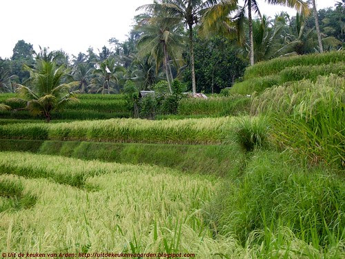 Bali 2010 - Rijstveld