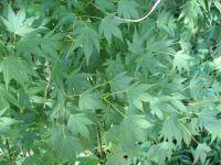 Blätter Acer palmatum