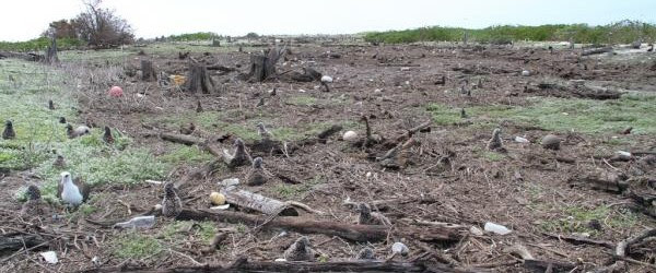 Thousands Laysan albatross, along with thousands of chicks and other seabirds, perished as tsunami waves reaching 5ft-tall (1,5meter) rolled over the remote low-lying Midway islands just four hours after the...