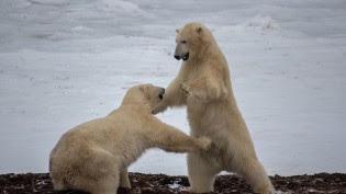 polarbears-cc